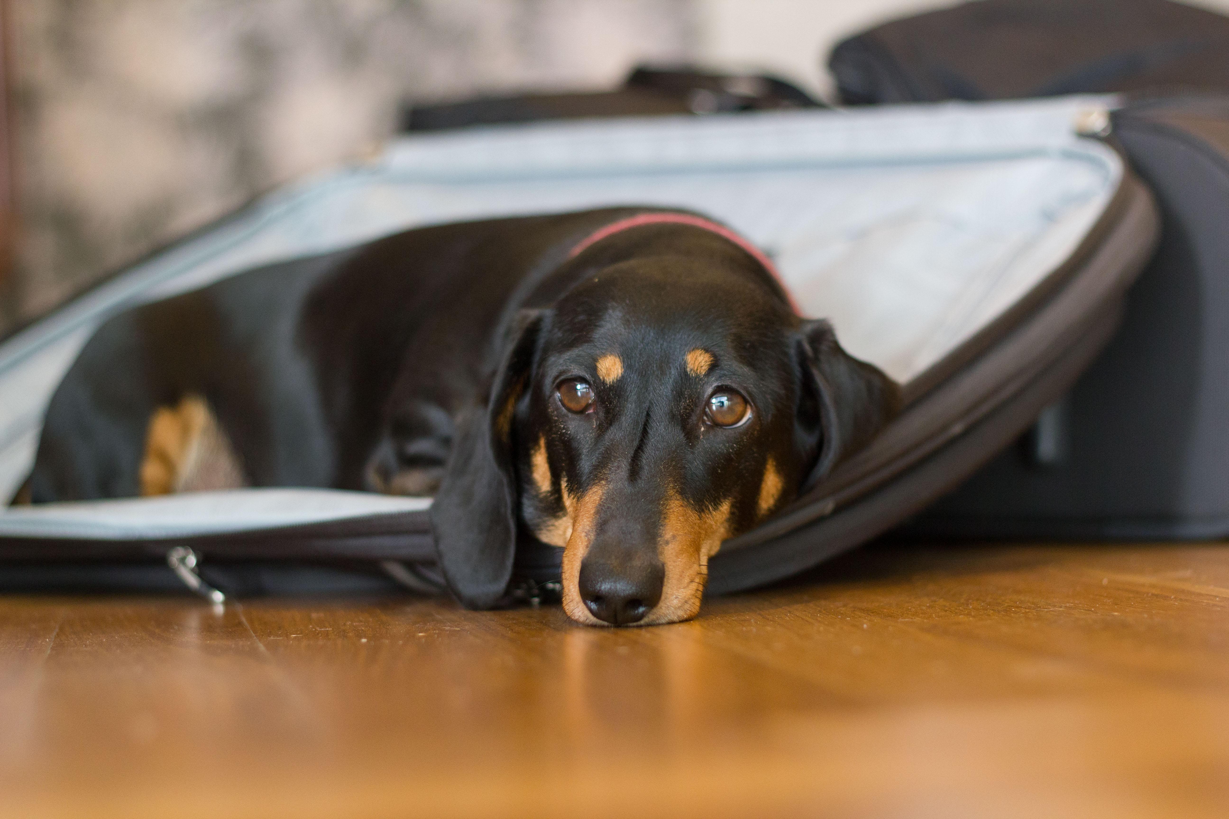 Suitcase dog